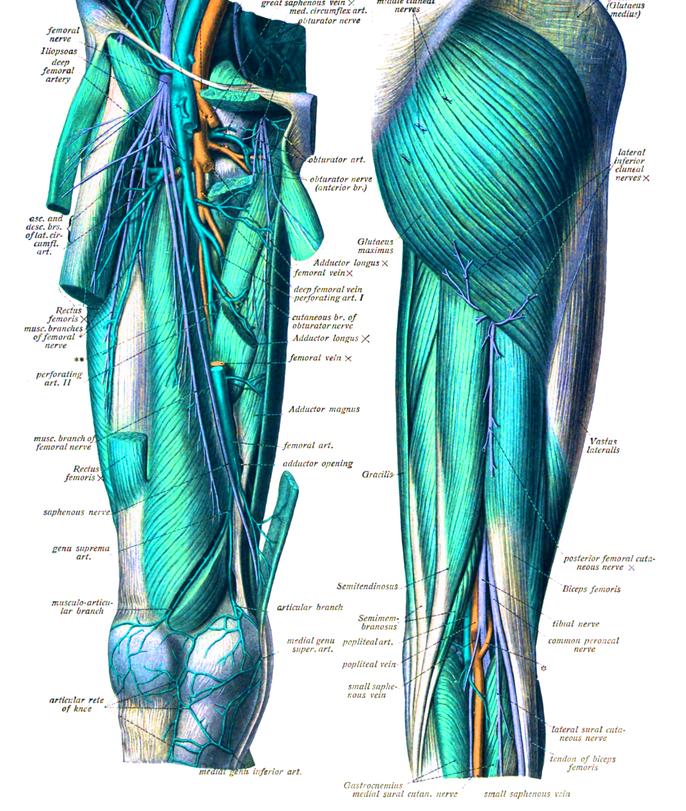 Biceps Sural