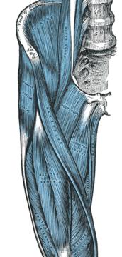 Músculos básicos de la pierna