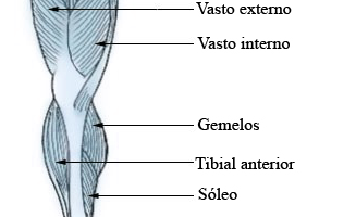 Músculos gemelos