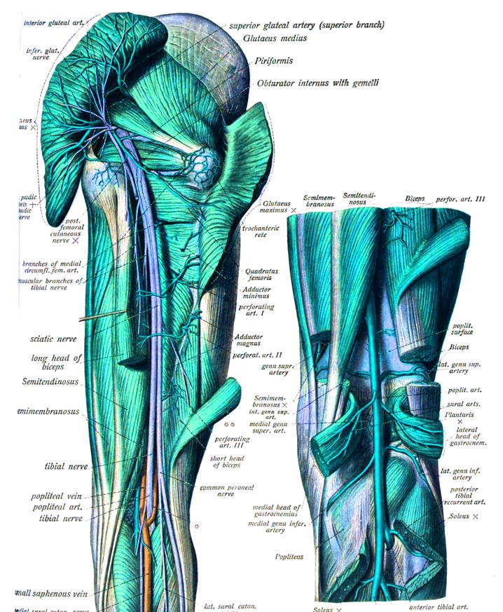 Peroneo lateral corto
