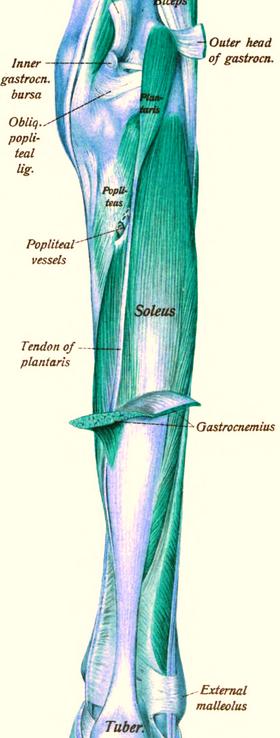 Triceps sural