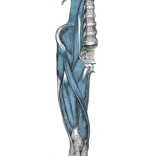 musculos basicos de la pierna